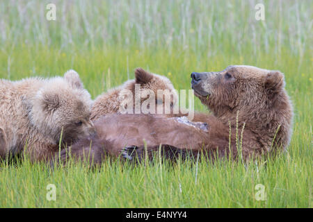 Grizzly bear cubs suckling in grassy meadow - Stock Photo