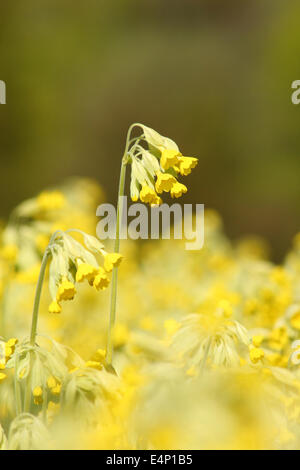 Cowslips (primula veris) flower in an English meadow, Derbyshire, UK - Stock Photo