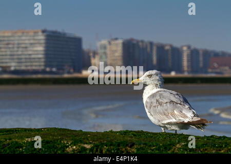 European herring gull (Larus argentatus) with wet feathers resting along the North Sea coast - Stock Photo