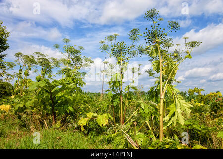 Heracleum sosnowskyi is a flowering plant contain the intense toxic allergen. It is dangerous for humans. - Stock Photo