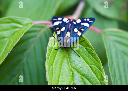 Callimorpha dominula moth on Hydrangea leaves. Scarlet Tiger moth. - Stock Photo