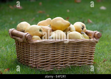 A basket of quince on the grass, Cydonia oblonga - Stock Photo