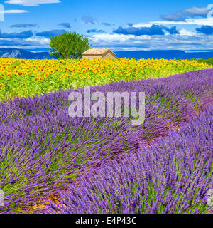 Lavender and sunflower field with tree in France - Stock Photo