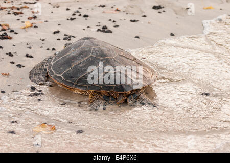Sleeping on the Edge. A large Green Turtle is lapped by the waves as the tide comes in on a Hawaii beach. - Stock Photo