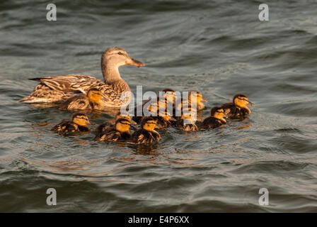 Mallard hen and her thirteen ducklings swimming in front of her