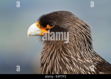Falklandkarakara-Portrait - Stock Photo