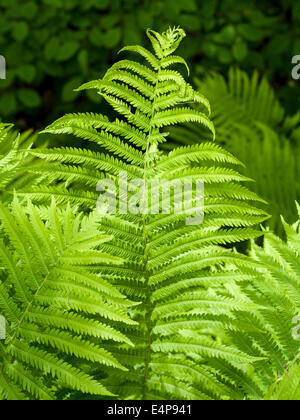 Fern Frond in the woods. A large fern frond caught by a beam of sunshine, growing in the under story of a park in - Stock Photo