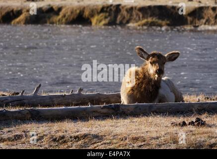 Elk Near Madison River in Yellowstone National Park - Stock Photo