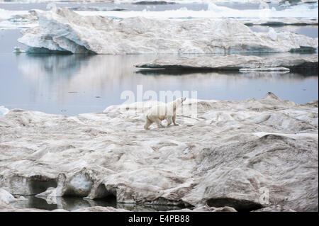 Polar bear on floating ice (Ursus Maritimus), Cape Waring, Wrangel Island, Chuckchi Sea, Chukotka, Russian Far East - Stock Photo