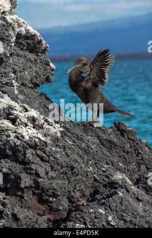 Galapagos Flightless Cormorant (Nannopterum harrisi), Elisabeth Bay, Isabela Island, Galapagos, Ecuador - Stock Photo