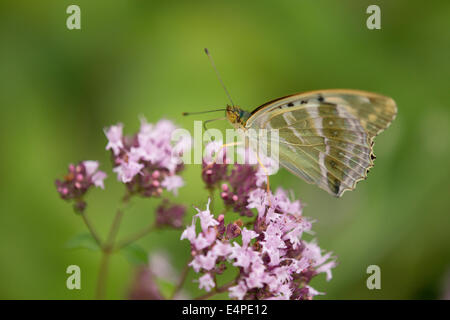 Silver-washed fritillary (Argynnis paphia f valesina), female, green-gray form, Thuringia, Germany - Stock Photo