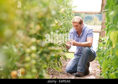 Farmer Checking Tomato Plants In Greenhouse - Stock Photo