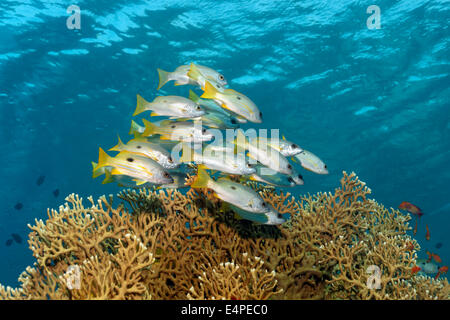 Dory snappers (Lutjanus fulviflamma) over Net Fire Coral (Millepora dichotoma), Red Sea, Egypt - Stock Photo