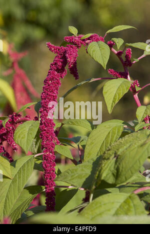 love-lies-bleeding, amaranthus caudatus - Stock Photo