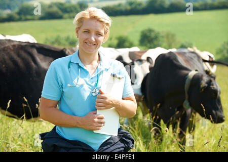 Female Vet In Field With Cattle - Stock Photo