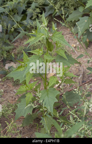 chenopodium hybridum - Stock Photo