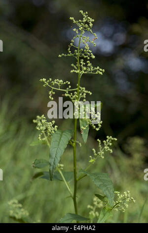 chenopodium hybridum - Stock Photo