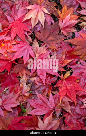 Red fallen leaves of Acer palmatum subsp amoenum - Stock Photo