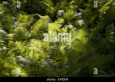 ostrich fern, matteuccia struthiopteris - Stock Photo