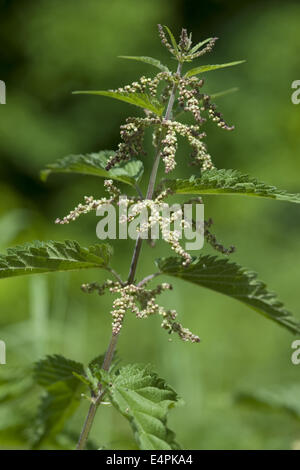 common nettle, urtica dioica - Stock Photo
