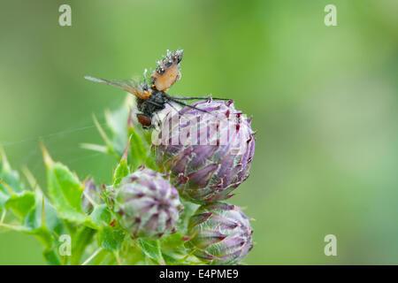 Fliege auf einer Distel - Stock Photo