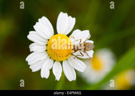 Fliege auf einer Blüte - Stock Photo