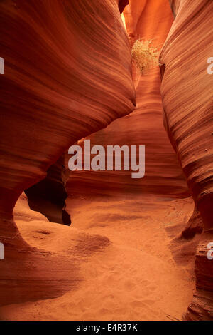 Eroded sandstone formations and tumbleweed caught high in Rattlesnake Canyon, near Page, Navajo Nation, Arizona, - Stock Photo