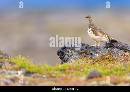 Alpenschneehuhn, Rock Ptarmigan, Ptarmigan, Lagopus mutus, Lagopède alpin, Lagopède des Alpes, Lagópodo Alpino
