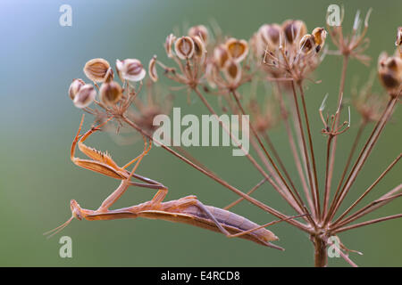 European mantis, Europäische Gottesanbeterin, Mantis religiosa - Stock Photo