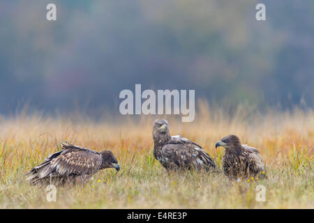 Sea Eagle, Erne, White-tailed Eagle, Seeadler, Haliaeetus albicilla - Stock Photo