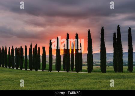 Cypress trees at sunrise, Poggio Covili, Tuscany, Italy. - Stock Photo