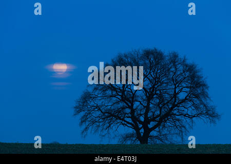 English Oak / Pendulate Oak (Quercus robur), solitary tree in field in winter at night in moonlit rural landscape - Stock Photo
