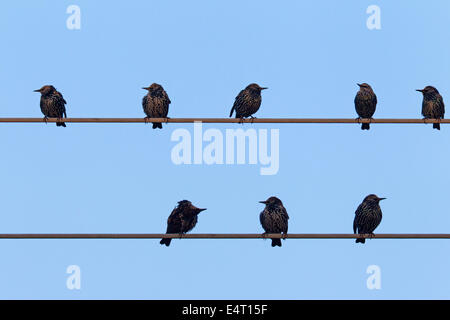 Common Starlings / European starling (Sturnus vulgaris) flock gathering on electric power line in summer - Stock Photo