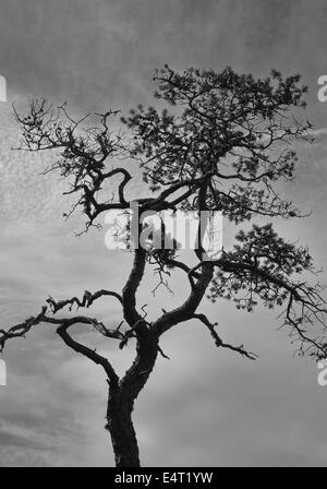 Stunted pine and cloudy sky, black and white image, vertical format - Stock Photo