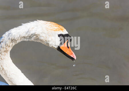 Close up of wet head of mute swan (Cygnus olor) with water drops falling from its beak, at Arundel Wildfowl and - Stock Photo