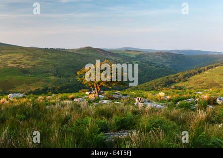 Lone Hawthorn tree on Combestone Tor overlooking the Dart Valley. Dartmoor National Park. Devon. UK. - Stock Photo