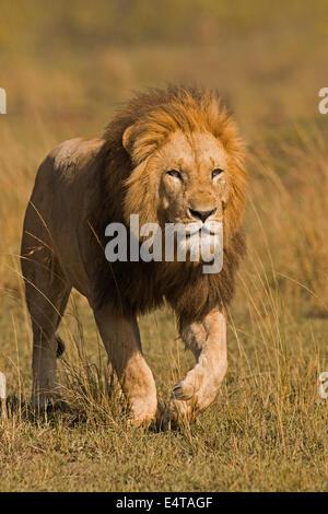 Male Lion (Panthera leo) Stalking, Masai Mara National Reserve, Kenya - Stock Photo