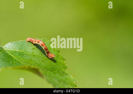 Mottled Umber (Erannis defoliaria) caterpillar on a leaf - Stock Photo