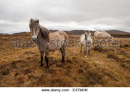 Eriskay Ponies grazing on moorland near Lochboisdale, South Uist, Outer Hebrides, Scotland. - Stock Photo