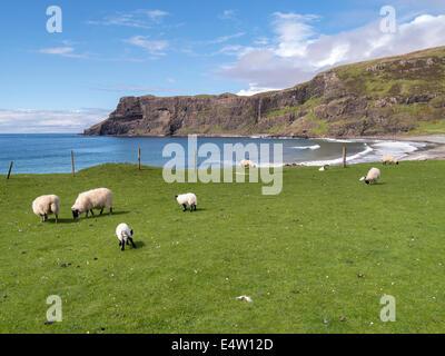 Scottish Blackface sheep and lambs grazing on green grass by Talisker Bay, Isle of Skye, Scotland, UK