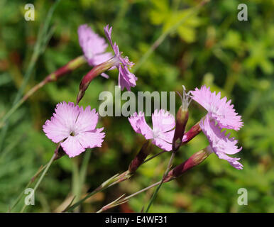 Cheddar Pink - Dianthus gratianopolitanus Rare Somerset flower - Stock Photo