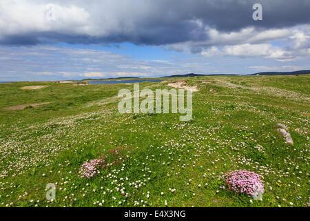 Machair grassland wild flowers on west coast in summer at Balranald RSPB Nature Reserve North Uist Outer Hebrides - Stock Photo