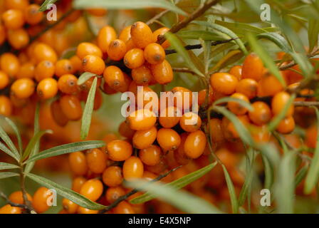 Sea Buckthorn - Stock Photo
