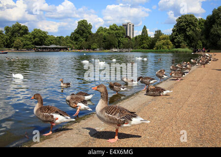 St James's Park in London's Westminster, England a landscape showing its lake with geese standing at the water edge - Stock Photo