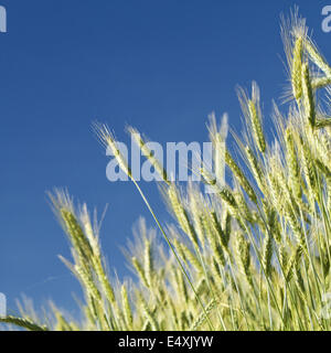 wheat field in spring (Triticum) - Stock Photo