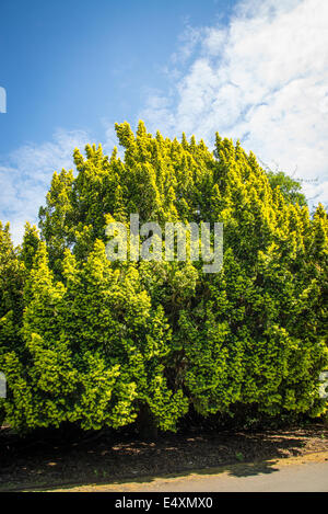 Common or European yew tree, Taxus baccata, Kew Royal Botanic Gardens, London, UK - Stock Photo