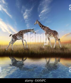 Two Giraffes At Sunset