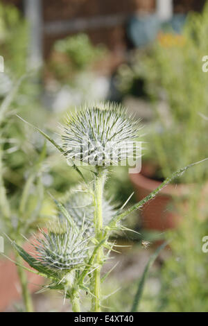 image of Spear Thistle in garden Cirsium vulgare - Stock Photo