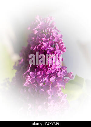 lila flower - Stock Photo