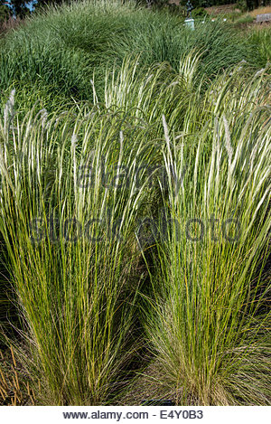 Grass Stipa ichu, common name Peruvian Feather Grass - Stock Photo